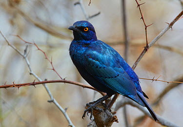 Red-shouldered Glossy-Starling (Lamprotornis nitens) in acacia tree, Kruger National Park, South Africa  -  Martin Willis