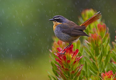 Cape Robin-chat (Cossypha caffra) in the rain on a Protea (Protea sp) shrub, Kirstenbosch Garden, Cape Town, South Africa  -  Martin Willis