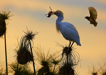 Cattle Egret (Bubulcus ibis) extracting a Black-headed Weaver (Ploceus melanocephalus) chick from its nest while mother protests, Kazinga Channel, Uganda  -  Martin Willis