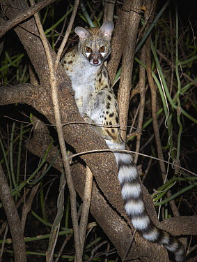 Large-spotted Genet (Genetta tigrina) sitting in a tree, Kruger National Park, South Africa  -  Martin Willis