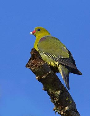 African Green-Pigeon (Treron calvus) sunning itself on a branch, Lake Mburo National Park, Uganda  -  Martin Willis