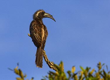 African Grey Hornbill (Tockus nasutus) on perch, Lake Mburo National Park, Uganda  -  Martin Willis
