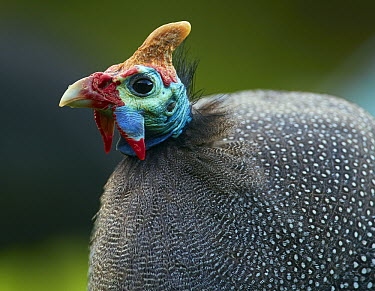 Helmeted Guineafowl (Numida meleagris), Cape Town, South Africa  -  Martin Willis