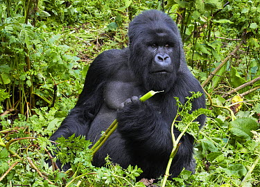 Mountain Gorilla (Gorilla gorilla beringei)male feeding, Volcanoes National Park, Rwanda  -  Martin Willis