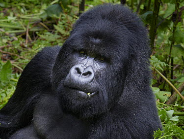Mountain Gorilla (Gorilla gorilla beringei) male feeding, Volcanoes National Park, Rwanda  -  Martin Willis