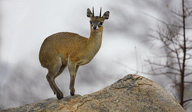 Klipspringer (Oreotragus oreotragus), Kruger National Park, South Africa  -  Martin Willis