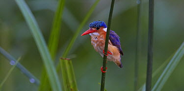 Malachite Kingfisher (Alcedo cristata) watching for prey, Kazinga Channel, Uganda  -  Martin Willis