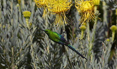 Malachite Sunbird (Nectarinia famosa) male feeding on nectar of Rocket Pincushion (Leucospermum reflexum) flower, Kirstenbosch Garden, Cape Town, South Africa  -  Martin Willis