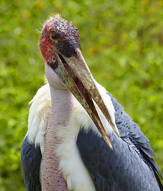 Marabou Stork (Leptoptilos crumeniferus), Uganda  -  Martin Willis