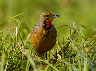 Cape Longclaw (Macronyx capensis) male foraging, Cape Town, South Africa  -  Martin Willis