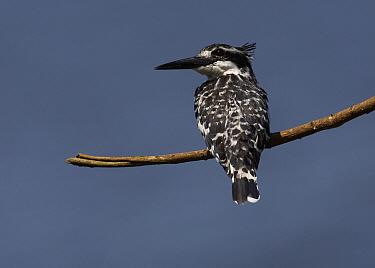 Pied Kingfisher (Ceryle rudis), Lake Mburo National Park, Uganda  -  Martin Willis