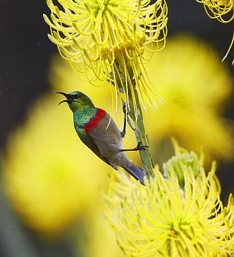 Southern Double-collared Sunbird (Cinnyris chalybeus) male calling, Kirstenbosch Garden, Cape Town, South Africa  -  Martin Willis