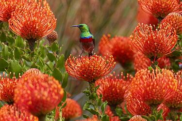 Southern Double-collared Sunbird (Cinnyris chalybeus) male feeding on the nectar of Rocket Pincushion (Leucospermum reflexum) flower, Kirstenbosch Garden, Cape Town, South Africa  -  Martin Willis