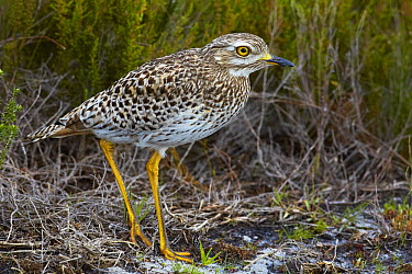 Spotted Thick-knee (Burhinus capensis), Western Cape National Park, Capetown, South Africa  -  Martin Willis