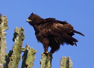Greater Spotted Eagle (Aquila clanga) on Candelabra Tree (Euphorbia candelabrum), Lake Mburo National Park, Uganda  -  Martin Willis