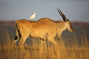 Cattle Egret (Bubulcus ibis) perched on a male Eland (Taurotragus oryx), Rietvlei Nature Reserve, Gauteng, South Africa  -  Richard Du Toit