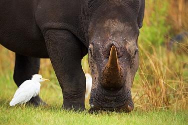 White Rhinoceros (Ceratotherium simum) feeding near Cattle Egret (Bubulcus ibis), Rietvlei Nature Reserve, Gauteng, South Africa  -  Richard Du Toit