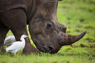 White Rhinoceros (Ceratotherium simum) and Cattle Egret (Bubulcus ibis), Rietvlei Nature Reserve, Gauteng, South Africa  -  Richard Du Toit