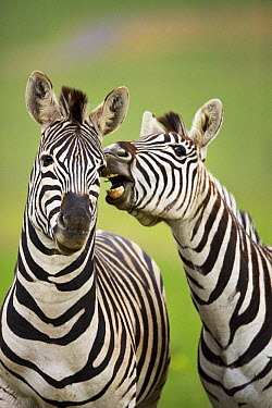Burchell's Zebra (Equus burchellii) pair, Rietvlei Nature Reserve, Gauteng, South Africa  -  Richard Du Toit