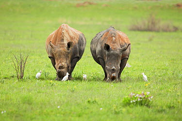 White Rhinoceros (Ceratotherium simum) pair feeding near Cattle Egrets (Bubulcus ibis), Rietvlei Nature Reserve, Gauteng, South Africa  -  Richard Du Toit