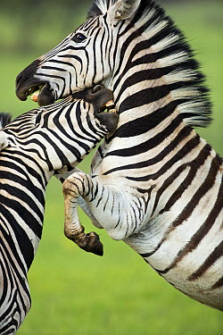 Burchell's Zebra (Equus burchellii) males fighting, Rietvlei Nature Reserve, Gauteng, South Africa  -  Richard Du Toit