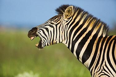 Burchell's Zebra (Equus burchellii) yawning, Rietvlei Nature Reserve, Gauteng, South Africa  -  Richard Du Toit