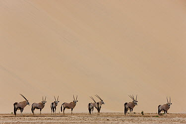 Oryx (Oryx gazella) herd in dry river bed in front of large sand dune, Hoarusib River, Namib Desert, Namibia  -  Theo Allofs