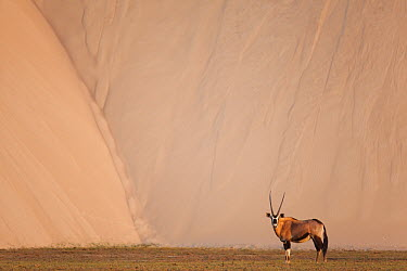 Oryx (Oryx gazella) in dry river bed in front of large sand dune, Hoarusib River, Namib Desert, Namibia  -  Theo Allofs