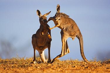 Red Kangaroo (Macropus rufus) males fighting, Sturt National Park, Australia  -  Theo Allofs
