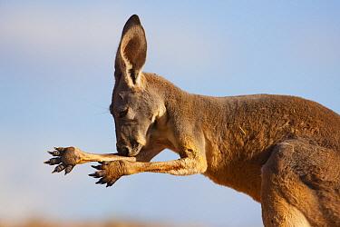 Red Kangaroo (Macropus rufus) licking arm to cool off on very hot day, Sturt National Park, Australia  -  Theo Allofs