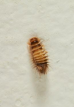 Varied Carpet Beetle (Anthrenus verbasci) larva on wall, England  -  Stephen Dalton