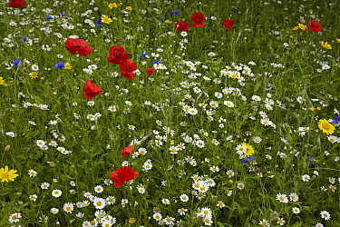 Red Poppy (Papaver rhoeas), Chamomile (Anthemis arvensis), and Corn Marigold (Chrysanthemum segetum) flowering in meadow, England  -  Stephen Dalton