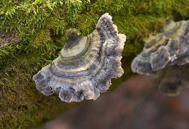 Turkeytail (Trametes versicolor) bracket fungus, England  -  Stephen Dalton