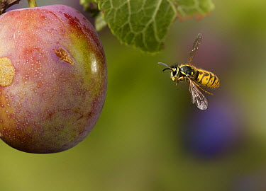 Common Wasp (Vespula vulgaris) flying to fruit, England  -  Stephen Dalton