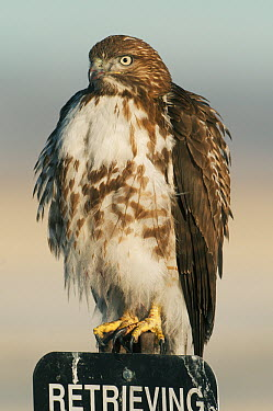 Red-tailed Hawk (Buteo jamaicensis) on sign, Tule Lake National Wildlife Refuge, California  -  Kevin Schafer