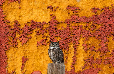 Great Horned Owl (Bubo virginianus) perching by crumbling barn wall, Tule Lake National Wildlife Refuge, California  -  Kevin Schafer