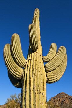 Saguaro (Carnegiea gigantea) cactus, Saguaro National Park, Arizona  -  Kevin Schafer