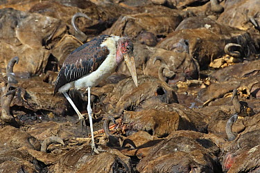 Marabou Stork (Leptoptilos crumeniferus) feeding on Blue Wildebeest (Connochaetes taurinus) carcasses, Masai Mara, Kenya  -  Winfried Wisniewski