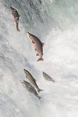 Sockeye Salmon (Oncorhynchus nerka) group jumping up waterfall, Brooks Falls, Katmai National Park, Alaska  -  Matthias Breiter
