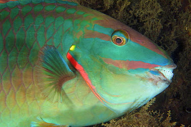 Stoplight Parrotfish (Sparisoma viride) male, called a supermale, sleeping, West Palm Beach, Florida  -  Norbert Wu