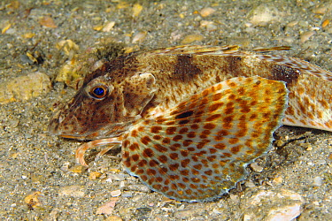Bluespotted Searobin (Prionotus roseus), West Palm Beach, Florida  -  Norbert Wu