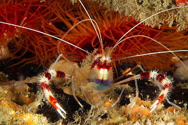 Banded Coral Shrimp (Stenopus hispidus) in front of Flame Scallops (Lima scabra), West Palm Beach, Florida  -  Norbert Wu