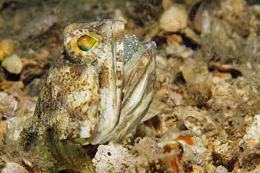 Banded Jawfish (Opistognathus macrognathus) male incubating and aerating clutch of eggs, West Palm Beach, Florida  -  Norbert Wu