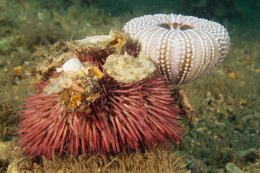 Sea Urchin (Lytechinus variegatus) covered with coral, shells, and urchin skeleton to prevent predation, West Palm Beach, Florida  -  Norbert Wu