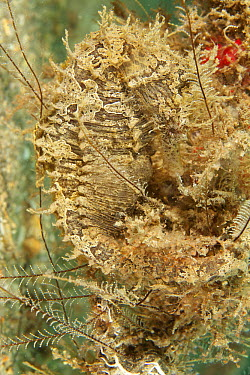 Spotted Seahorse (Hippocampus erectus) male brooding eggs camouflaged in reef, West Palm Beach, Florida  -  Norbert Wu