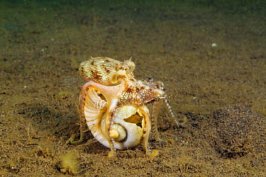 Coconut Octopus (Amphioctopus marginatus) carrying shell to use as a home and for protection, Bali, Indonesia  -  Norbert Wu