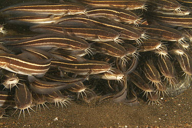 Striped Catfish (Plotosus lineatus) school, Bali, Indonesia  -  Norbert Wu