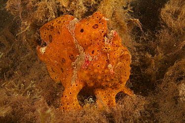 Painted Frogfish (Antennarius pictus), Bali, Indonesia  -  Norbert Wu