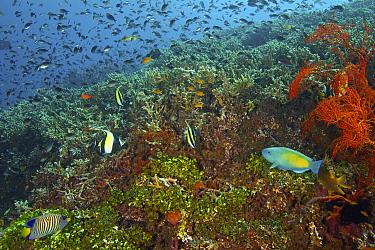 Royal Angelfish (Pygoplites diacanthus), Moorish Idol (Zanclus cornutus), and Parrotfish (Scaridae) school in coral reef, Bali, Indonesia  -  Norbert Wu