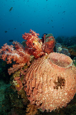 Giant Barrel Sponge (Xestospongia sp) and soft coral, Bali, Indonesia  -  Norbert Wu